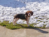 Bibi (m.sudarevic) Tags: dogs sweetdogs beagle pets puppy vividstriking