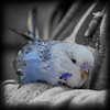 Chirpy Chirpy Cheep Cheep (mik-shep) Tags: bird budgie budgerigar blue feathers beak 008 loveyourpetday 118picturesin2018 paigntonpier colourpop