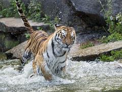 Tigress running in the water (Tambako the Jaguar) Tags: tiger big wild cat siberian amur female tigress running action water drops fast fun berlin tierpark germany nikon d5
