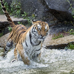 Tigress running in the water thumbnail