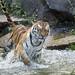 Tigress running in the water