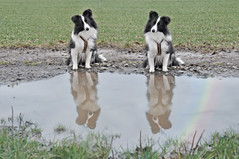 Das doppelte Fleurchen ;-) (Uli He - Fotofee) Tags: ulrike ulrikehe uli ulihe ulrikehergert hergert fotofee nikon nikond90 sheltie shetlandsheepdog sheepdog pfütze burghaun steinbach grotte fleur spaziergang geräusche kopfhaltung brav