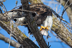Fresh Seafood (jeff_a_goldberg) Tags: americanbaldeagle baldeagle wildlife winter nature bird haliaeetusleucocephalus eagle redwing minnesota unitedstates us