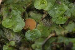 Octosporiopsis nicolai on crescent-cup liverwort - Lunularia cruciata (Björn S...) Tags: octosporiopsisnicolai kotlabaeanicolai lunulariacruciata mondbechermoos crescentcupliverwort lunulaire mushroom pilz champignon fungo hongo
