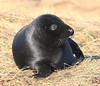 Is this my best side? (jpotto) Tags: uk lincolnshire donnanook seal pup animal