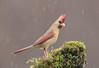 Northern Cardinal  Female (Elizabeth Wildlife) Tags: northern cardinal female rain wildlife nature