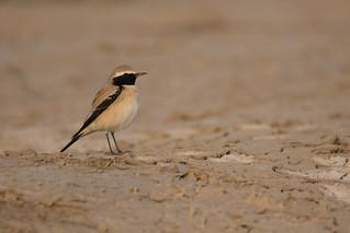 Desert Wheatear | Oenanthe deserti