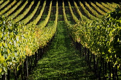 Vineyard (Strocchi) Tags: vineyard grapes vigneto uva canon eos6d 24105mm autumn autunno tree wine vino