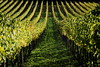 Vineyard (Strocchi) Tags: vineyard grapes vigneto uva canon eos6d 24105mm autumn autunno tree wine vino