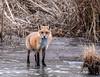 Red Fox (jerryherman1) Tags: redfox backyardwildlife mammal maryland wildlife nature nikor200500f56