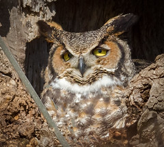Incubating (tresed47) Tags: 2018 201802feb 20182018middlecreekbirds birds canon7d content ephrata february folder greathornedowl lancastercounty owl pennsylvania peterscamera petersphotos places season takenby us winter