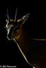 Klipspringer - Oreotragus oreotragus (Jeff Jarrett) Tags: black brown nature oreotragusoreotragus outdoors white wildlife africa african animal antelope antlers buck ears eyes game horns klipspringer kruger mammal national natural one oreotragus park portrait safari small south vertical wild wilderness