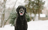 Bob 3/52 (Kasandra_A) Tags: pets 52weeksfordogs snow bob standardpoodle
