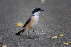 6F8A4498  Long Tailed Shrike (EricBronson's Photography) Tags: longtailedshrike bird nature