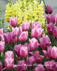 Longwood Gardens Spring 2017 (3) (Framemaker 2014) Tags: longwood gardens kennett square pennsylvania tulips united states america
