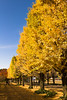 IMG_1362 (Matthew_Li) Tags: red leaf japan maple leaves