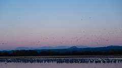 So Many Birds (San Francisco Gal) Tags: bosquedelapache nationalwildliferefuge birds geese ducks sandhillcranes water mountain sunrise bluehour gruscanadensis chupaderamountains centralflyway riograndeflyway