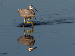 White Faced Heron (Jeff_Warner) Tags: nikon200500f56 nikond500 waterbirds birds