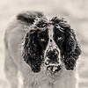 Hector (Barry Folan) Tags: dogportrait dogphotography dogphotographer hectorthedug hector cockerspaniel cockers mansbestfriend dog portrait portraiture pentaxart pentaxk1 pentax pentaxian tamron70200 bw blackwhite monochrome