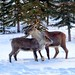 Lessons for little Caribou