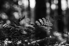 *** (pszcz9) Tags: przyroda nature natura zbliżenie closeup paproć fern bokeh las forest forestimages jesień autumn fall bw blackandwhite monochrome czarnobiałe sony a77 beautifulearth
