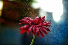 Contrasted (anim.richie) Tags: blue blueforyou red orange golden rain monsoon light nature natural naturallight flower floral
