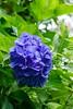 Hygrandea (sal tinoco) Tags: flower nature outdoors fantasticflower