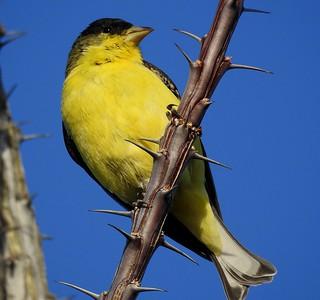 Lesser Goldfinch-12518 (6)