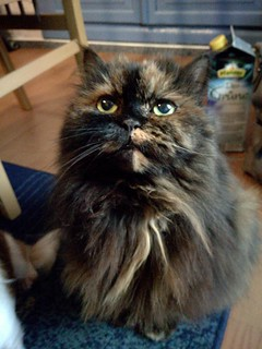 """My lovely 18 years old Persian Burmese mongrel cat """"Lucy"""" [Explored]."""