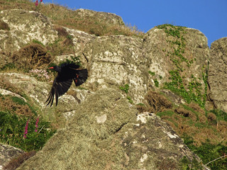Chough flying off from one of the granite crags of Carn Leskys