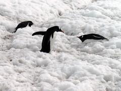 Brown_2017 12 11_0190 (HBarrison) Tags: harveybarrison hbarrison antarctica antarcticpeninsula paradiseharbor brownstation gentoopenguin taxonomy:binomial=pygoscelispapua arctic antarctic arcticantarctic