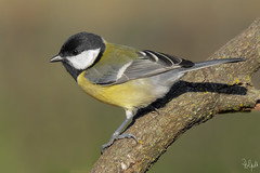 Cinciallegra (Polpi68) Tags: bird birds nature cinciallegra