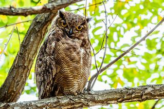 Búho Marrón / Owl