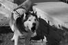 Husky Heroes '18, Morton Arboretum. 5 (EOS) (Mega-Magpie) Tags: canon eos 60d outdoors the morton arboretum lisle il illinois dupage america usa husky heroes pet bw black white mono monochrome dog
