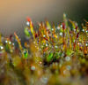 Green Sprouts. (Omygodtom) Tags: moss macro bokeh dof d7100 contrast nature nikon leica zeiss tamron texture tamron90mm sparkle coth5 7dwf stump outdoors raindrop waterdrops water h20