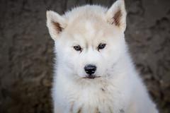 Liam. Day Fifty-Three. (Vanessa Privett Photography) Tags: liam siberianhusky puppy baby singleton dog homegrown bredby silverandwhite