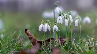 Envoys of spring...