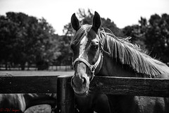 Horses of KY (B&W) (JuanJ) Tags: nikon d600 lightroom art bokeh nature lens light landscape white green red black pink sky people portrait location architecture building city iphone iphoneography square squareformat instagramapp shot awesome supershot beauty cute new flickr amazing photo photograph fav favorite favs picture me explore interestingness wedding party family travel friend friends vacation beach horse farm ky kentucky fayette county fayettecounty animal blackandwhite