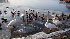 Swans on ice (Sylwester Ch.) Tags: ptak ave bird oiseau vogel uccello ostroda ostrode masuria mazury drweckie jezioro lake zima winter poland cygnus olor
