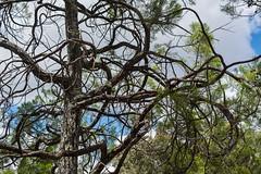 Callitris endlicheri (dustaway) Tags: cupressaceae callitrisendlicheri blackcypresspine australiantrees conifers australianflora trunk branching habit nature nationalparksandnaturereserves girraweennationalpark sequeensland queensland australia