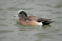American Wigeon (JamesK_5) Tags: sigma 100400mm f563 dg os hsm contemporary lens americanwigeon duck