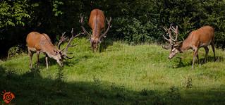 Red Deer at Calke Abbey