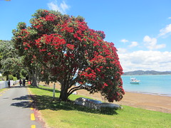 Christmas Tree, Russell foreshore (d.kevan) Tags: trees flowers floweringtrees shores beaches boats roads dinghies people fences russell newzealand bayofislands grass sand sea christmastrees