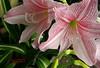 Lirio (A. K. Hombre) Tags: flower flores fleur flora plant lirio blooms blossoms crinumlatifolium pinkstripedtrumpetlily lily garden striped stripes amaryllis flowers