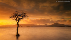 The Tree of Milarrochy (.Brian Kerr Photography.) Tags: scotland scottishlandscapes scottish scotspirit scottishhighlands scottishlandscape 5dmkii canon landscapephotography photography thetreeofmilarrochy sunset lochlomond tree clouds sky landscape briankerrphotography briankerrphoto nature naturallandscape natural outdoor outdoorphotography opoty visitscotland visitbritain loch reflections mountain water