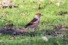 Hawfinch (kevinclarke1969) Tags: hawfinch nottinghamshire