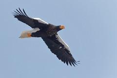 Stellers Sea Eagle (Stu Price) Tags: hokkaido stellersseaeagle esan flight