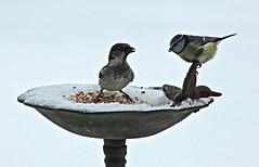 Oiseaux (laurent KB) Tags: moineau mésange tit