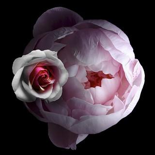 Peony & Rose