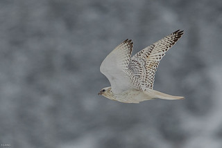 The White adult gyrfalcon flies away.